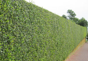 hedge-cutting-maintenance-balham
