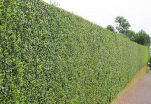 hedge-cutting-maintenance-balham
